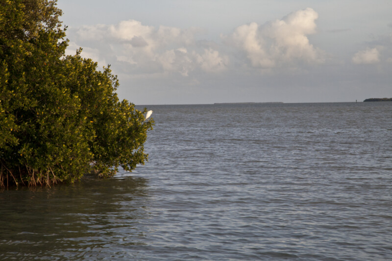 White Bird Resting on the Branch of a Red Mangrove