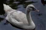 White Bird Swimming at the Artis Royal Zoo