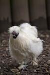 White Bird Walking