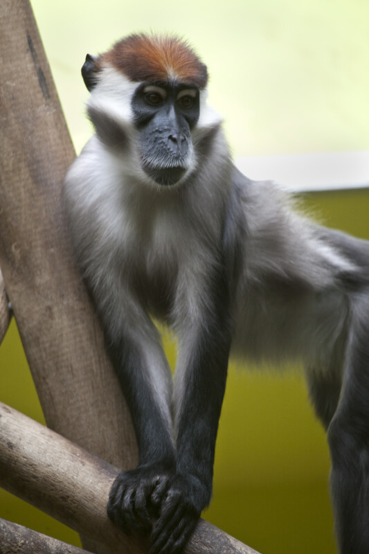 White-Collared Mangabey Hands
