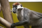 White-Collared Mangabey Left Side