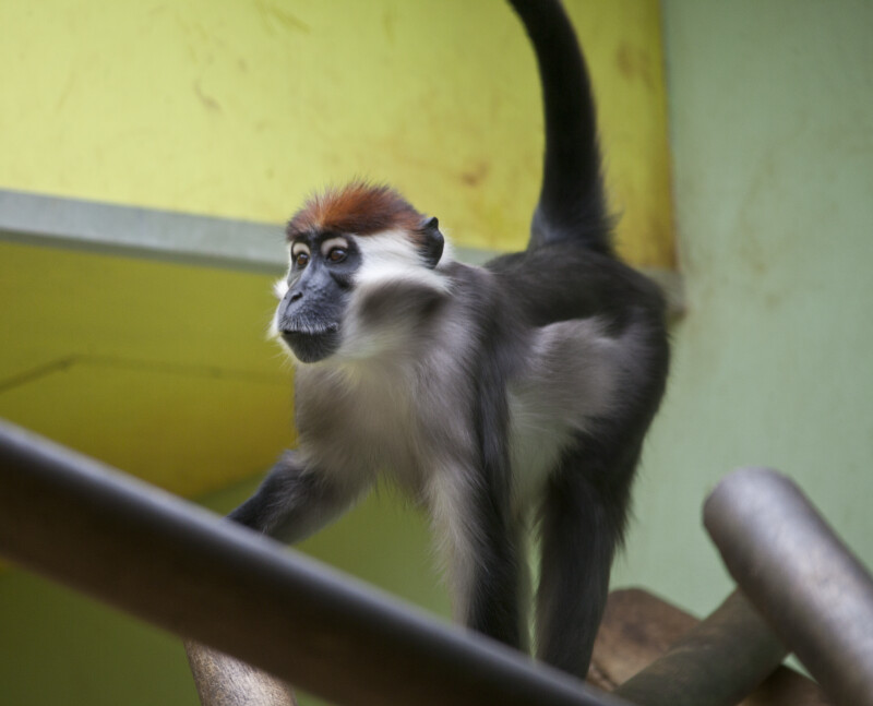 White-Collared Mangabey with Tail Up