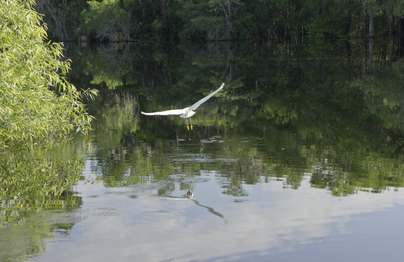 White Egret Flies over Brooker Creek