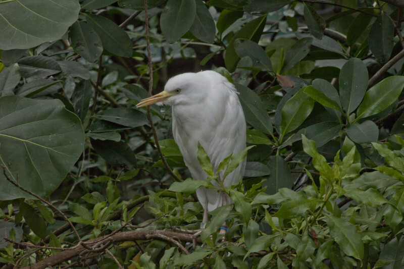 White Egret with Yellow Beak Perched on Branch