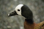 White-Faced Whistling-Duck Close-Up