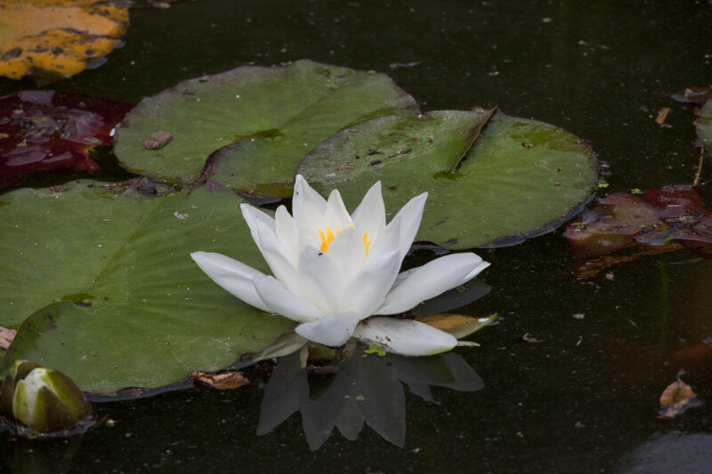 White Flower and Green Pads of Water Lily