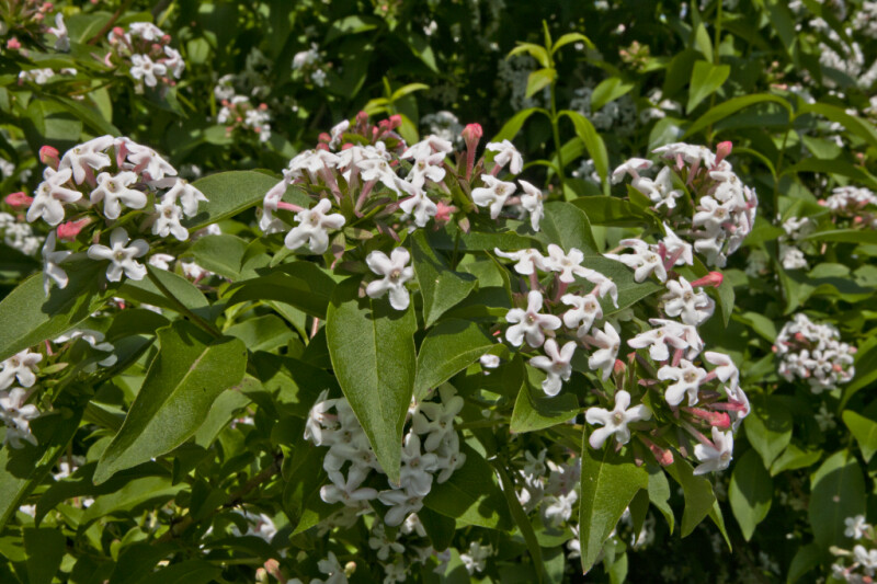 White Flowers and Green Leaves of a Fragrant Abelia