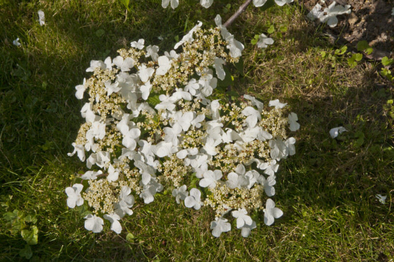 White Flowers and Yellow Flower Buds of a Japanese Snowball Shrub