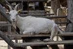White Goat Resting on Steps at Vienna's Schönbrunn Tiergarten
