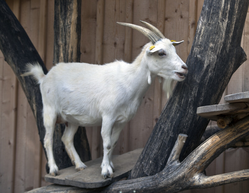 White Goat Standing on a Platform