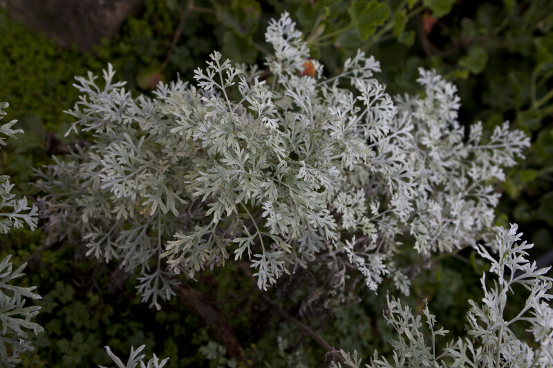White-Green Lavender Leaves