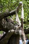 White-Handed Gibbon at Miami Zoo