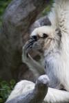 White-Handed Gibbon Covering Face