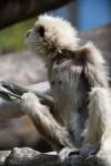 White-Handed Gibbon Crouching