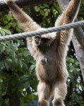 White-Handed Gibbon Hanging