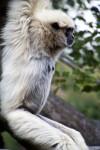 White-Handed Gibbon Hanging