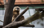 White-Handed Gibbon in Branches