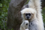 White-Handed Gibbon Looking at Camera