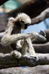 White-Handed Gibbon Looking at Paws