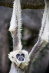 White-Handed Gibbon Looking Up