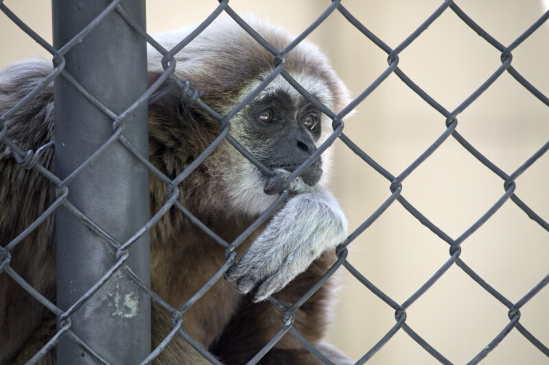 White-Handed Gibbon Resting Hand on Chain-Link Fence