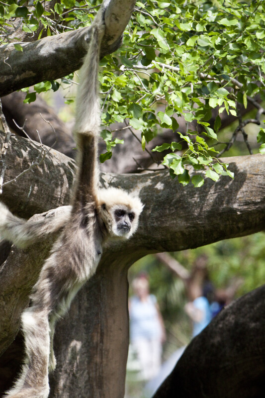 White-Handed Gibbon Swinging