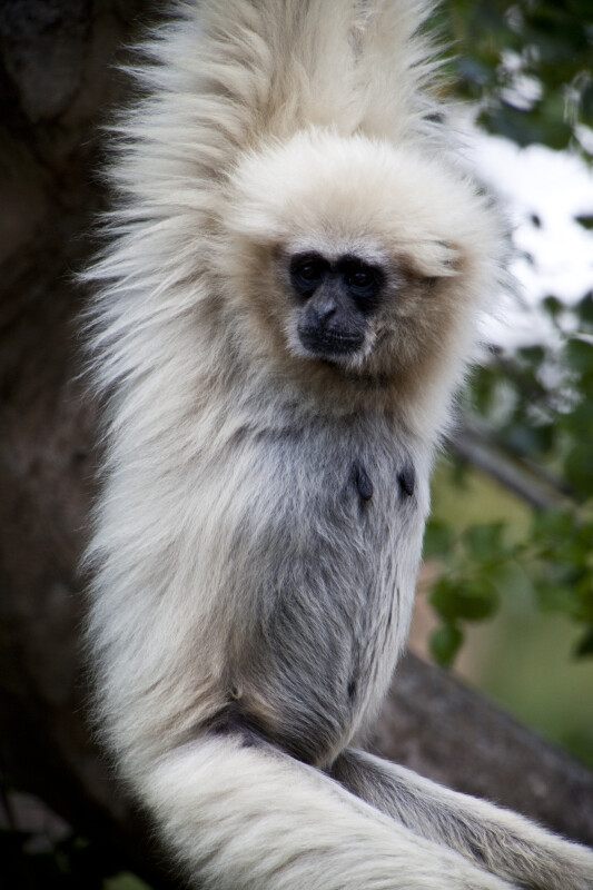 White-Handed Gibbon With Head Turned