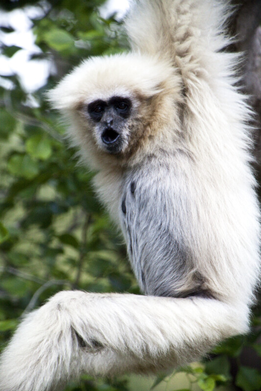 White-Handed Gibbon with Mouth Open
