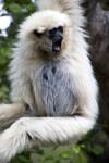 White Handed Gibbon Yawning