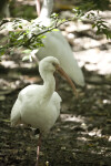 White Ibis on One Leg
