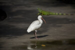 White Ibis on Sidewalk