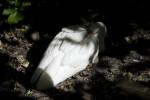White Ibis Resting