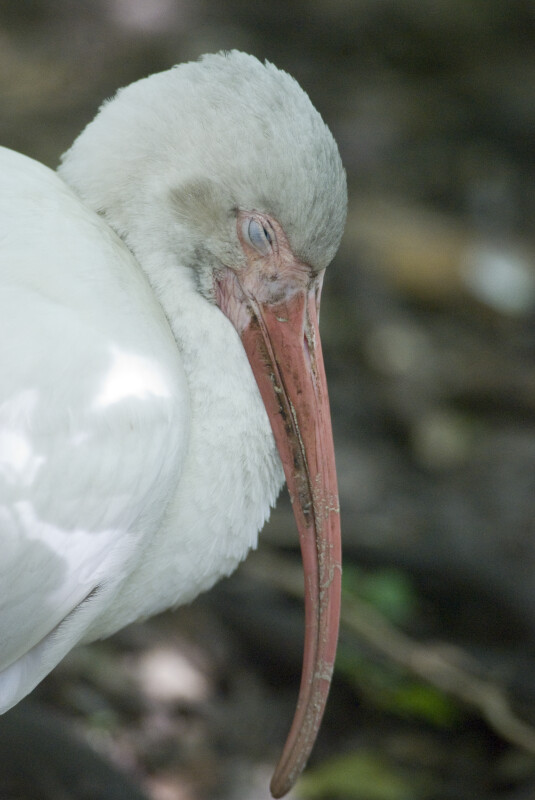 White Ibis with Eyes Closed