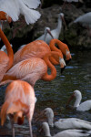 White Ibises and Flamingos