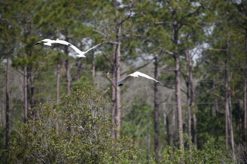 White Ibises Flying