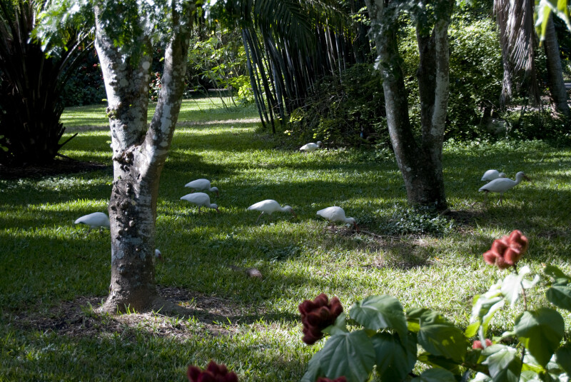 White Ibises Foraging