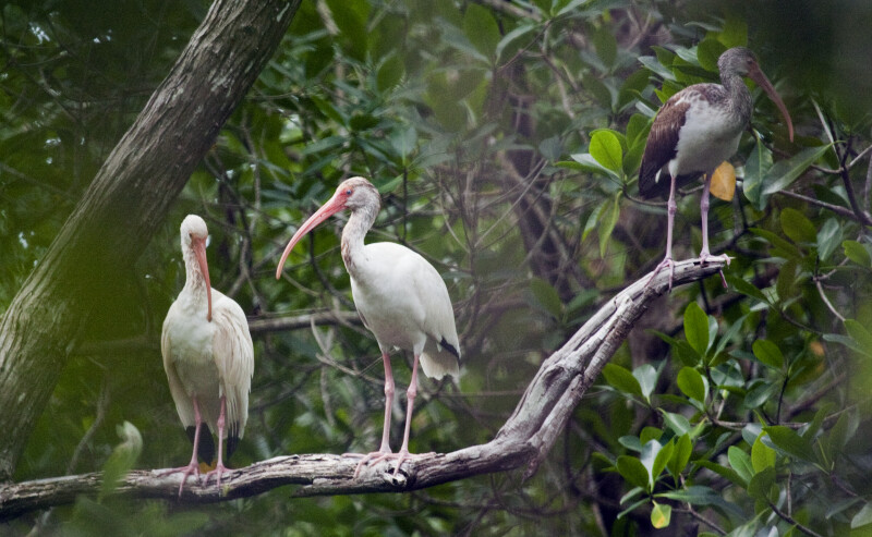 White Ibises on a Branch