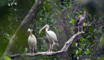 White Ibises on Bear Lake Trail