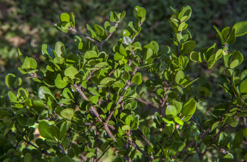 White Indigo Berry Branches and Leaves