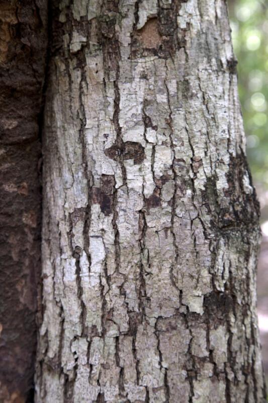 White Ironwood Bark