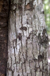 White Ironwood Bark