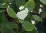 White Morpho on a Leaf
