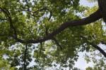 White Oak Branches