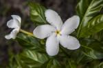 White Pinwheel Jasmine Flower