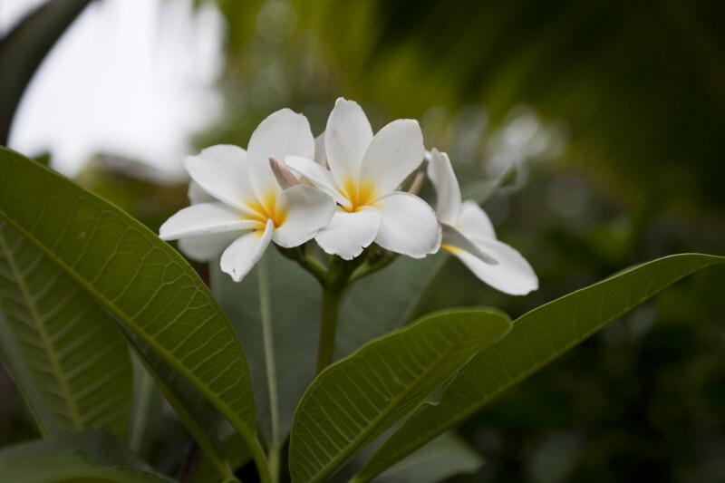 White Plumeria cvs. Frangipani