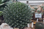 White-Striped Cactus