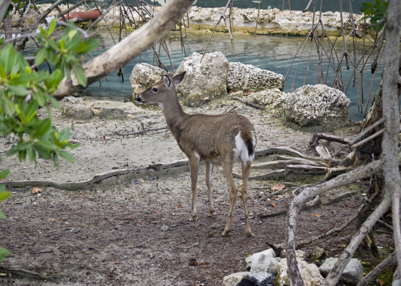 White-Tailed Deer at Seaquarium