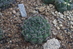 White-thorned Cactus