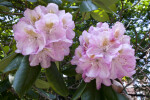 Whitish-Pink Flowers