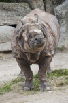 Whole Frontal View of Indian Rhinoceros